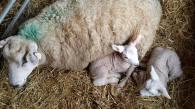 Young lambs with ewe