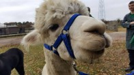 Timmy the alpacca